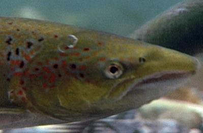 """El ciclo de vida del salmón, este viernes, en """"Jara y Sedal"""""""